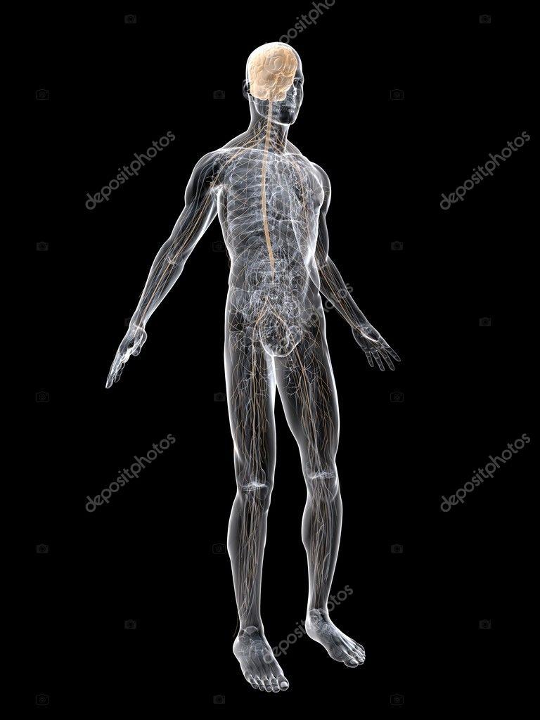 768 x 1024 jpeg 98kB, Human Nervous System On Display Nerve system ...