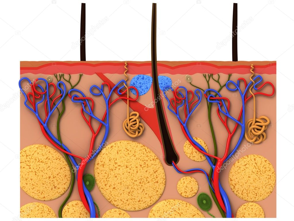 3d rendered anatomy illustration of a skin cross section — Stock Photo #2891674