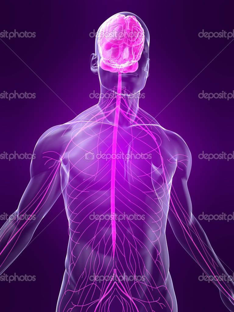 3d rendered illustration of transparent human body with highlighted nervous system  Stock Photo #2893325
