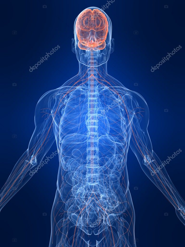 3d rendered illustration of transparent human body with highlighted nervous system — Stock Photo #2893576