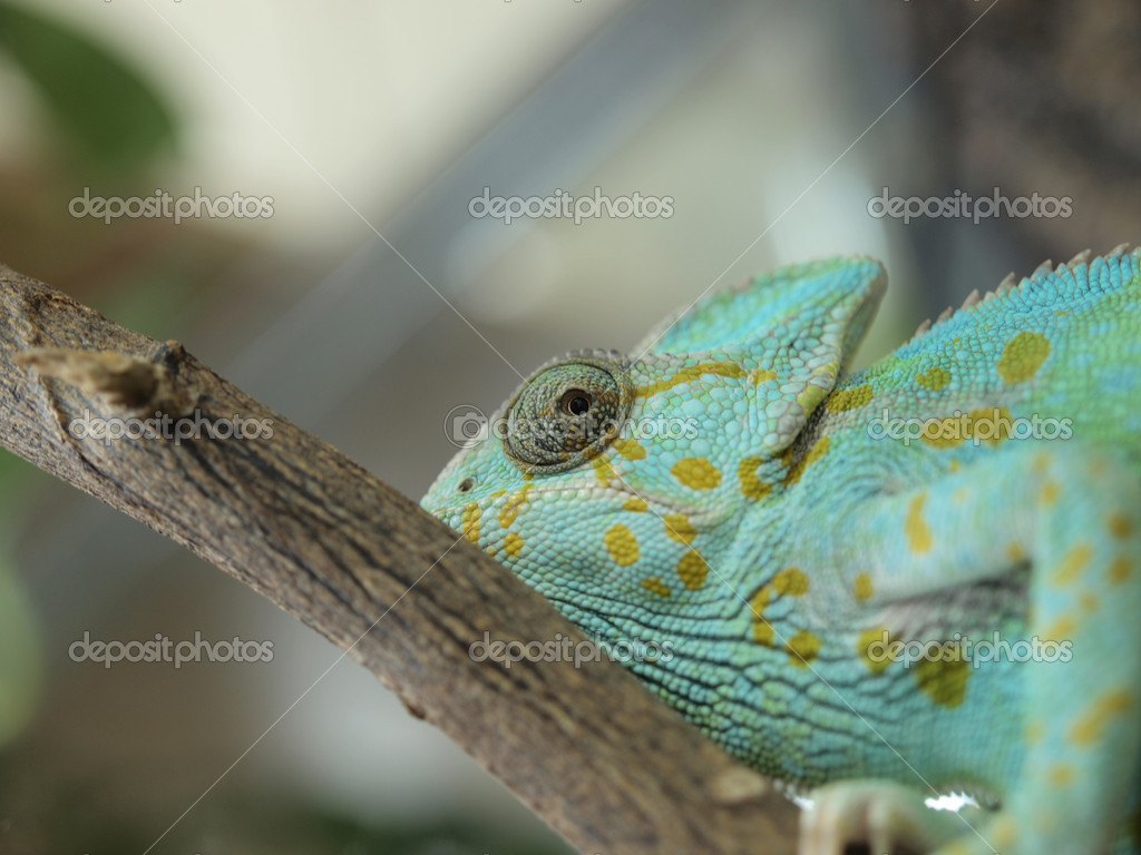 Green chameleon in a terrarium        — Stock Photo #2771921