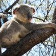 Koala in a Tree — Stock Photo #3495509