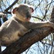 Koala in a Tree — Stock Photo #3495509