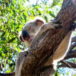 Koala in a Tree — Stock Photo #3495512