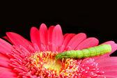 Green Caterpillar on a Pink Flower — Stock Photo