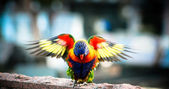Australian Eastern Rosella with Wings Outstreached — Stock Photo
