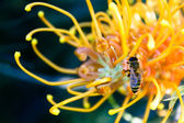 Bee on a Yellow Grevillea Flower — Stock Photo
