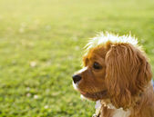 Ruby (Tan) Cavalier King Charles Puppy — Stock Photo