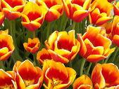 赤黄色のチューリップ — ストック写真