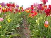 Rows of tulips — Stock Photo