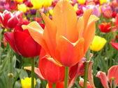 Tulipanes naranjas y rojos — Foto de Stock