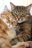 Miláčkové — Stock fotografie