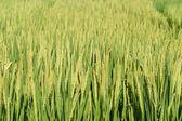 Agricoltura, riso — Foto Stock