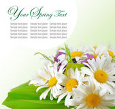 Daisy flowers in green background — Stock Photo