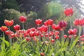 Red Tulips Lit by Sunlight (2) — Zdjęcie stockowe