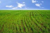 Rows of Wheat Sprouts on the Field — Stock Photo