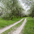 Apple Orchards in Blossom — Stock Photo