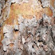 Peeling Bark — Stock Photo