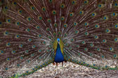Peacock — Stock fotografie