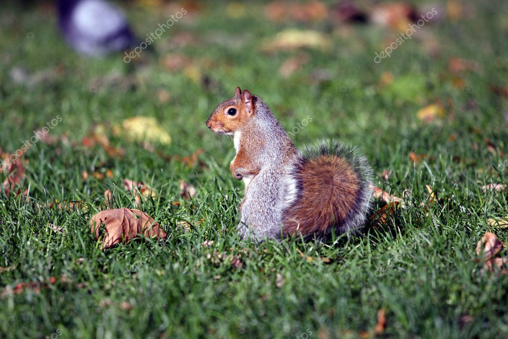 Squirrel standing on the back legs in a park — Stock Photo #3733051