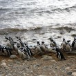 Stok fotoğraf: Magellpenguins on island