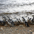 Magellpenguins on island — Foto Stock #3849595