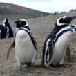 Stock Photo: Magellpenguins on island