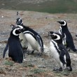 Foto Stock: Magellpenguins on island