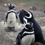 Magellan penguins on an island — Stock Photo
