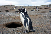 Magellan penguin — Stock Photo