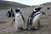 Magellan penguins on an island — Stock Photo