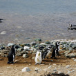 Stockfoto: Magellpenguins on island