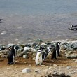 图库照片: Magellpenguins on island