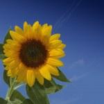 Sunflower on blue backround — Stock Photo