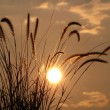 Stock Photo: Backlit Grasses