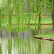 Stock Photo: Willow Reflection