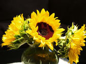 Sunflowers Brightly Lit — Stock Photo