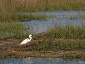 White Egret - Horizontal — Stock Photo