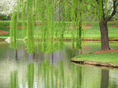 Willow Reflection — Stock Photo