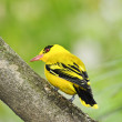 Stock Photo: Northern africgolden oriole