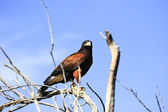 Harris's Hawk — Stock Photo