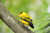 Northern african golden oriole — Stock Photo