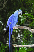 Hyacinth macaw — Stockfoto