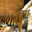 Stock Photo: Malaytiger