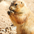 Black tailed prairie dog — Stock Photo #3304931