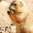 Stock Photo: Black tailed prairie dog