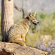 Coyote — Stock Photo