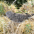 Inca dove — Stock Photo