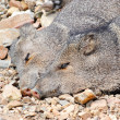 Two Javelinas — Stock Photo