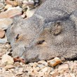 Stock Photo: Two Javelinas